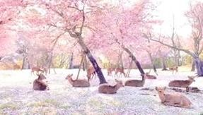 The wonderful welcome of the deer among the sakura in the park of Nara