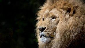 Covid, positivi sei leoni e tre tigri allo zoo di Washington