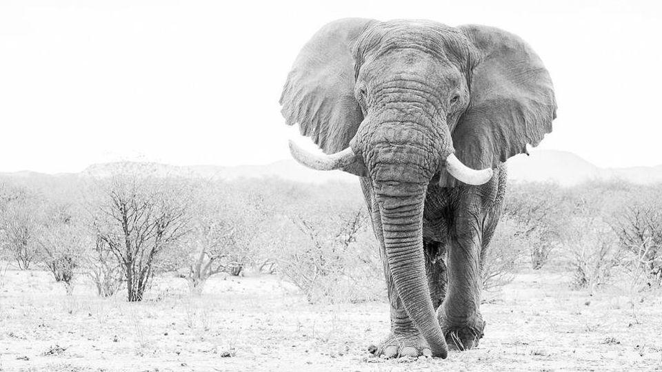 Ucciso Voortrekker, il leggendario l'elefante della Namibia. Il governo è  sotto accusa - La Stampa