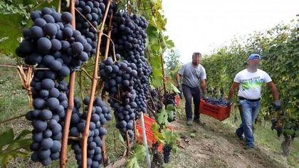 Covid, il virus viaggia con i lavoratori stagionali dell'uva: record di contagi nell'Astigiano
