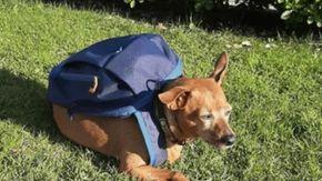 Addio a Luigi, il cane postino che durante il lockdown portava beni di prima necessità alla propria famiglia
