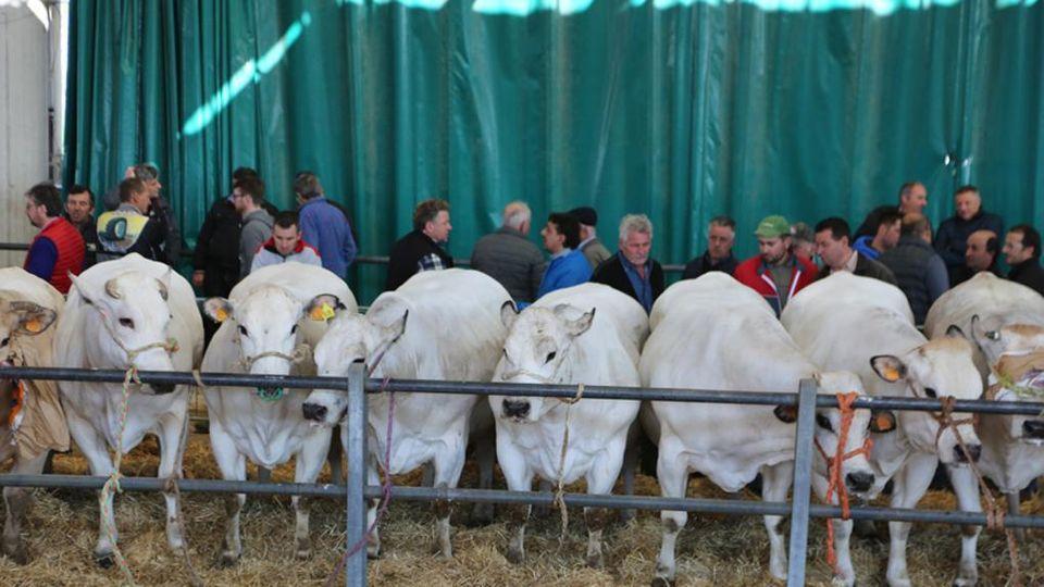 Risultati immagini per mercato dei bovini