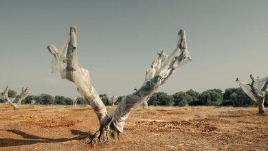 Nella terra degli ulivi distrutti dalla Xylella, dove l'unione di antiscienza e politica fa ancora disastri