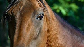 """La denuncia choc: """"Due cavalli morti durante le prove per il palio di Fucecchio"""""""