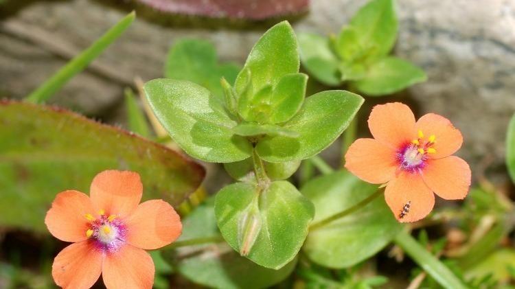 """Veronica, fragola matta, garofanino e centocchio, piccole grandi piante quasi """"clandestine"""""""