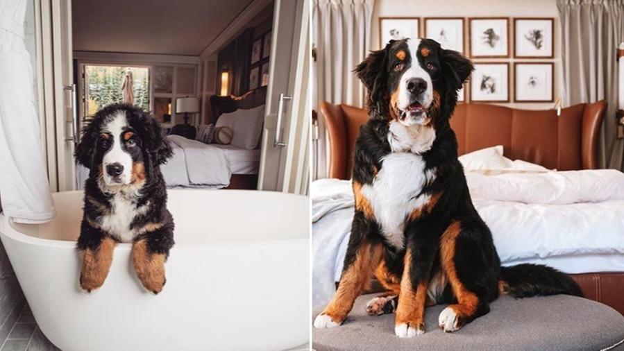 Un hotel di lusso di Aspen è alla ricerca di un maggiordomo per il suo cane bovaro del bernese