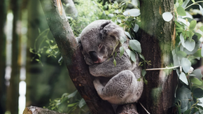 The race against time to save koalas from extinction