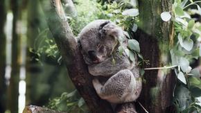 Corri contro il tempo per salvare i koala dall'estinzione