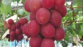 Ecco il grappolo d'uva che costa quanto un'automobile