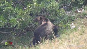 L'orso mangia il frutto del ramno: la rara scena nel Parco Nazionale d'Abruzzo