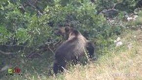L'orso mangia il frutto del ramo: la rara scena nel Parco Nazionale d'Abruzzo