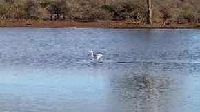 Sudafrica, l'airone sembra scivolare sull'acqua: ecco come riesce ad attraversare il lago