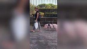 Roma, con un maiale al guinzaglio a spasso per i Parioli: l'insolito incontro in viale Bruno Buozzi