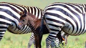 In Kenya avvistata Tira, una piccola zebra a pois e con i colori invertiti