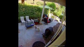 Coyote attacca cane anziano: il cucciolo di terrier riesce a metterlo in fuga