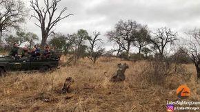 Leopardo vuole mangiare facocero, poi interviene anche una iena: il finale non è scontato