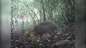 """Il """"cervo-topo"""" esiste: filmato per la prima volta in 30 anni l'animale che si credeva estinto"""