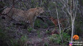 Sudafrica, il cucciolo di antilope attacca il leopardo: la scena è straordinaria