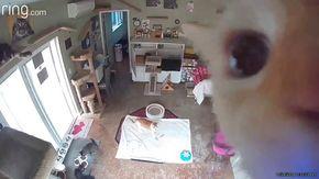 Il gatto scopre la telecamera di sicurezza: il risultato è esilarante