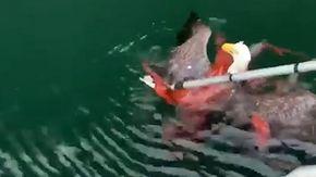 Il duello mortale che non ti aspetti, polpo gigante cattura un'aquila: il finale è a sorpresa