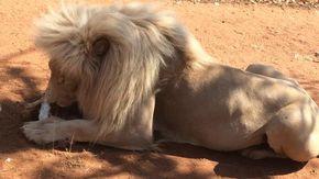 Turisti disturbano un leone che mangia, la reazione dell'animale è spaventosa