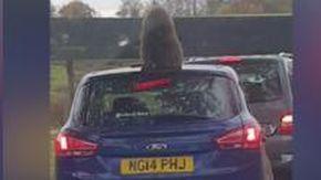 Gb, la scimmia sale sull'auto e combina un guaio: smettere di ridere è impossibile