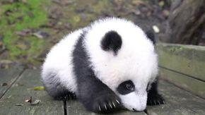 Cina, il baby panda alle prese con la prima incerta scalata