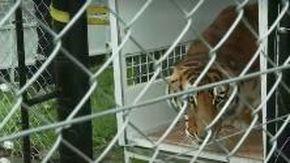 Ecco la reazione alla libertà della tigre dopo anni in una gabbia minuscola e rimasta senza artigli