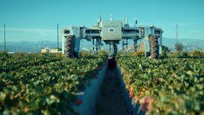 L'enorme robot alto 2 metri e mezzo capace di raccogliere anche le fragole: in 3 giorni copre 8 ettari