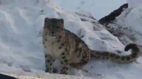 """Faccia a faccia con il leopardo delle nevi, l'animale """"invisibile"""" si ferma a due passi da un'auto"""