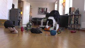 Le sorprendenti abilità di Whisky, il cane che riconosce gli oggetti per nome e li categorizza
