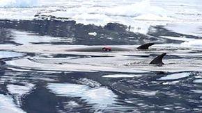Scienziati collegano telecamere a 30 balene: la vita in Antardite dalla loro prospettiva è sorprendente