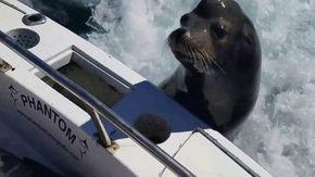 """Il leone marino """"assalta"""" la barca: i pescatori restano a bocca aperta"""