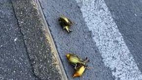 Genova, lo strano caso degli uccellini morti in strada. L'Enpa chiarisce il fenomeno