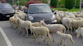 Tremila pecore invadono Lecco, auto bloccate per la maxi transumanza