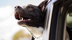 Perché i cani mettono il muso fuori dall'auto? Ecco la risposta e perché può essere una delusione