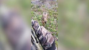 Il cucciolo di alce scambia il cacciatore per la mamma e non smette di seguirlo nel bosco poi trova il rimedio