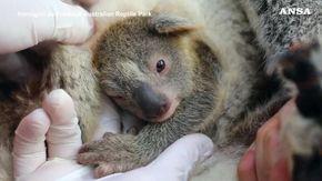 """Australia, ecco """"Cenere"""": il primo koala nato dopo gli incendi"""