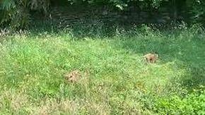 Lago Maggiore, la natura si avvicina all'uomo: sei volpacchiotti giocano nel prato dietro casa