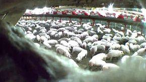 Sterminio di massa per migliaia di maiali con acqua bollente e soffocamento: le immagini choc dopo un'inchiesta