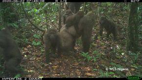 Ripresi per la prima volta i gorilla più rari del mondo e i loro cuccioli tra le montagne della Nigeria