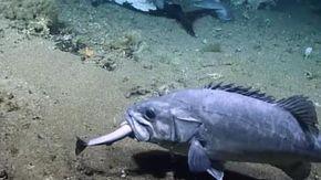 Una cernia ingoia uno squalo intero, i ricercatori rimangono sconcertati