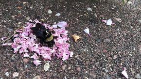 Le formiche sembrano fare il funerale al calabrone, cosa si nasconde dietro?