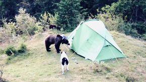 L'orso sta per entrare nella tenda dei campeggiatori: l'eroico (e inutile) intervento del cane