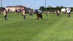 Invasore a sorpresa durante la partita di calcio: l'alpaca entra in campo e carica i giocatori