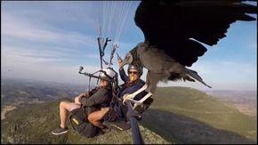 Un avvoltoio si posa sul parapendio in volo: le immagini sono spettacolari