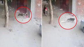 Cane randagio attacca un bambino in strada, un gatto eroe lo salva