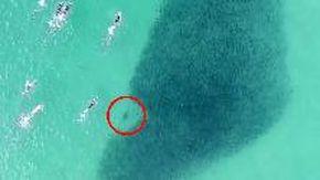 Australia, i bagnanti nuotano su un branco di salmoni da cui spuntano due squali