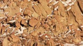 Quanti leopardi delle nevi riuscite a vedere? L'incredibile mimetizzazione del felino dell'Himalaya