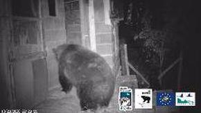 Le telecamere del Parco della Maiella colgono l'orsa sul fatto: così apre le porte dei pollai